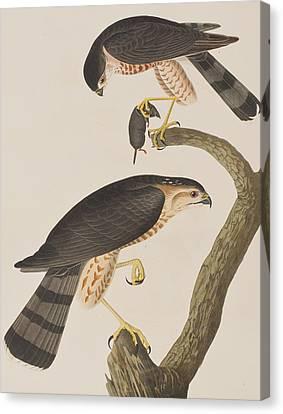 Sharp-shinned Hawk Canvas Print by John James Audubon
