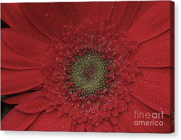 Shasta Daisy Macro Canvas Print by Stan and Anne Foster