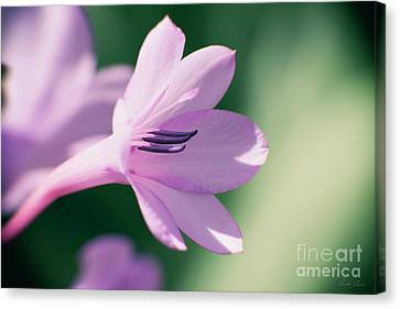 Canvas Print featuring the photograph She Listens Like Spring by Linda Lees