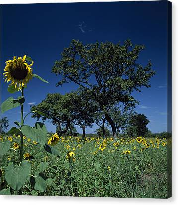 Shea Trees Intercropped With Sunflowers Canvas Print by David Pluth