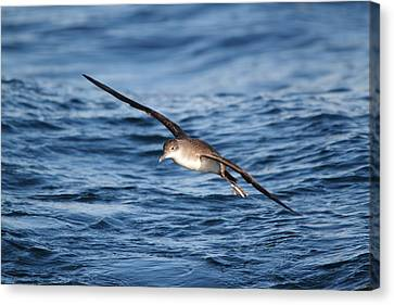 Canvas Print featuring the photograph Shearwater by Richard Patmore