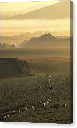 Sheep And Misty South Downs Canvas Print by Hazy Apple