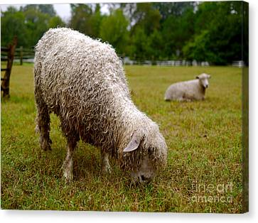 Sheep Begin A New Day Canvas Print