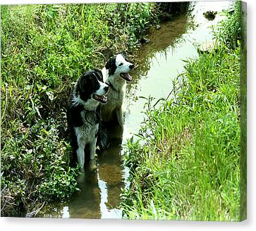 Sheep Dogs Canvas Print by Barry Shaffer
