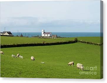 Canvas Print featuring the photograph Sheep Grazing On Irish Coastline by Juli Scalzi