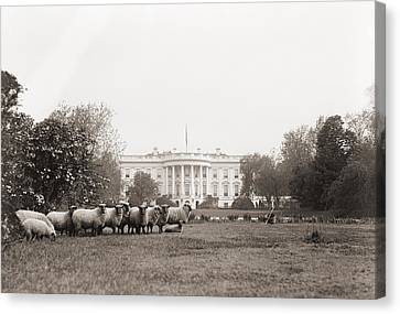 Sheep Grazing On The White House Lawn Canvas Print by Everett