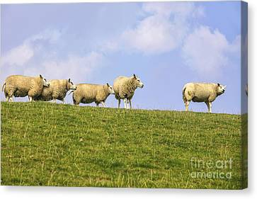 Sheep On Dyke Canvas Print by Patricia Hofmeester