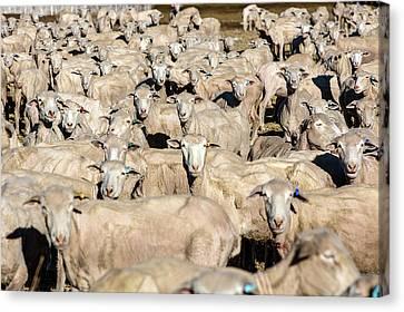 Sheep Sheared Canvas Print by Todd Klassy