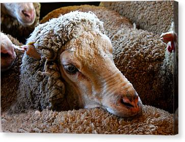 Sheep To Be Sheared Canvas Print by Susan Vineyard