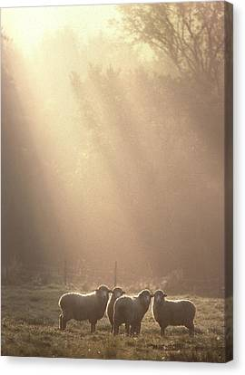 Sheep Underhill Vt Canvas Print by George Robinson