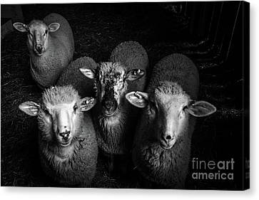 Sheep Canvas Print by Vicky Knowler
