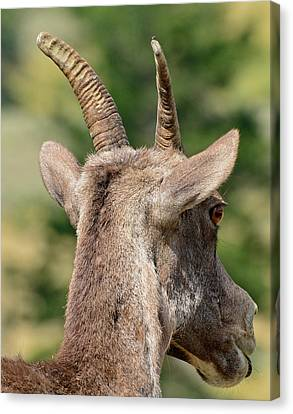 Canvas Print featuring the photograph Sheepish Look by Bruce Gourley
