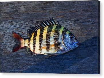 Canvas Print featuring the photograph Sheepshead Fish by Laura Fasulo