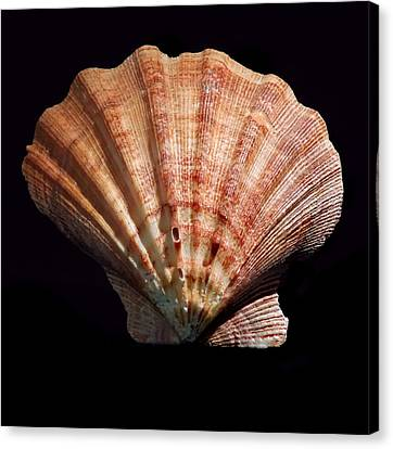 Shell 8-3 Canvas Print