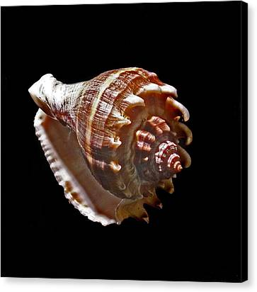 Shell 8-6 Canvas Print