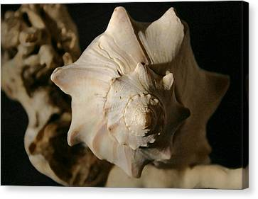 Shell And Driftwood Canvas Print by Mary Haber