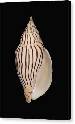 Shell Pattern - Bw Canvas Print by Bill Brennan - Printscapes