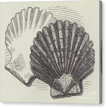 Shells Canvas Print by English School