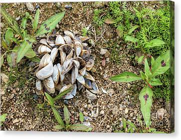 Canvas Print featuring the photograph Shells Of Freshwater Mussels by Michal Boubin