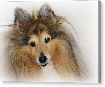 Sheltie Dog - A Sweet-natured Smart Pet Canvas Print by Christine Till