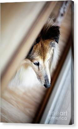 Sheltie Looking Outside Canvas Print by Kati Molin