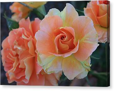 Sherbert Rose Canvas Print by Marna Edwards Flavell