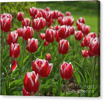 Canvas Print featuring the photograph Sherwood Gardens 19 by Chris Scroggins