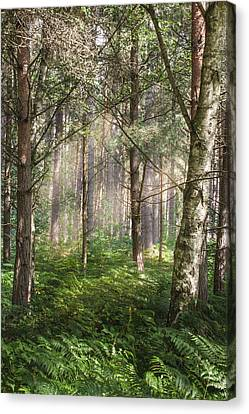 Dappled Light Canvas Print - Sherwood Pines Forest by Chris Dale