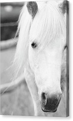 Shetland Pony Canvas Print by Tina Lee