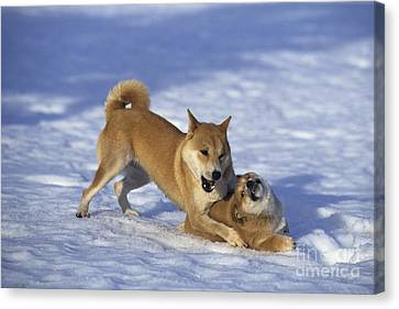 Shiba Inu And Her Puppy Canvas Print by Jean-Louis Klein & Marie-Luce Hubert
