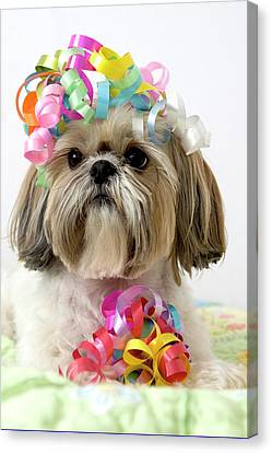 Shih Tzu Dog Canvas Print by Geri Lavrov