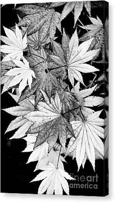 Shirasawa Maple Canvas Print by Tim Gainey
