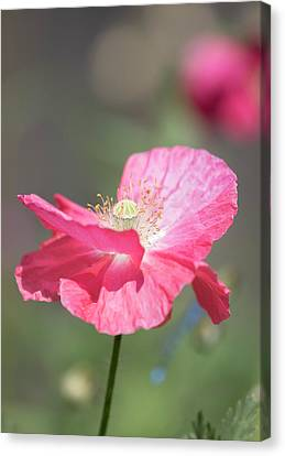 Shirley Poppy 2017-1 Canvas Print