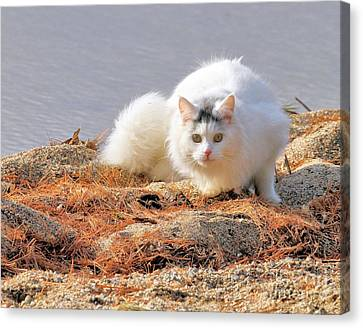 Canvas Print featuring the photograph Shore Kitty by Debbie Stahre