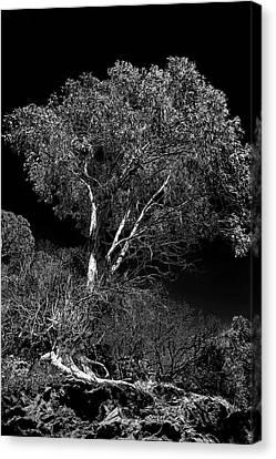 Shoreline Tree Canvas Print