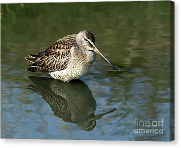 Canvas Print featuring the photograph Short-billed Dowitcher by Sharon Talson