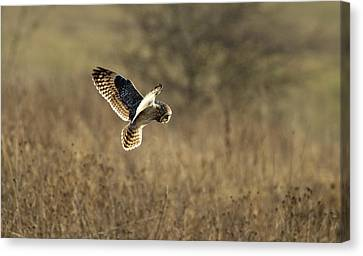 Short-eared Owl About To Strike Canvas Print