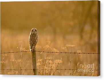 Short-eared Owl At Sunset Canvas Print