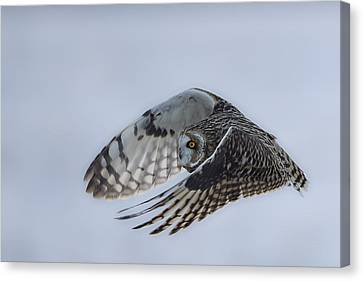 Short Eared Owl - Graceful Canvas Print