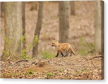 Fox Kit Canvas Print - Short Explorations by Everet Regal