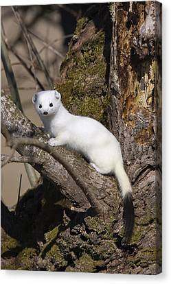 Short-tailed Weasel Mustela Erminea Canvas Print by Konrad Wothe