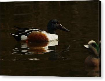 Canvas Print featuring the photograph Shovel Tail And A Wigeon by Jeff Swan