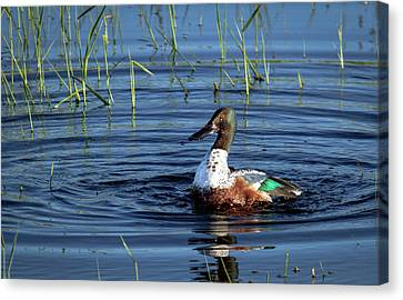 Canvas Print featuring the photograph Shoveler by Jean Noren