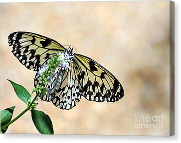 Showy Nymph Canvas Print by Debbie Green