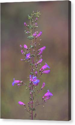 Canvas Print featuring the photograph Showy Penstemon by Alexander Kunz