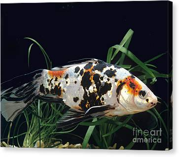 Shubunkin Goldfish Carassius Auratus Canvas Print by Gerard Lacz