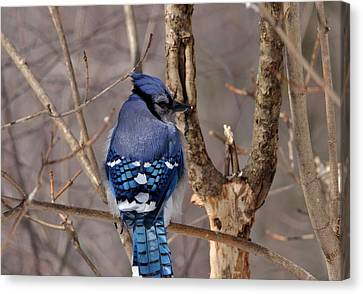 Shy Blue Jay  Canvas Print by David Porteus