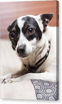 Shy Lonely Mini Fox Terrier Dog Laying On A Bed Canvas Print