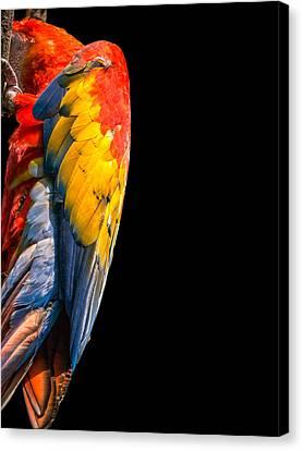 Shy Macaw Canvas Print by Rob Amend