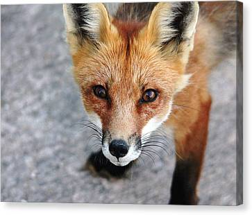 Canvas Print featuring the photograph Shy Red Fox  by Debbie Oppermann